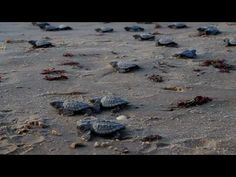 Kemp's ridley sea turtles are mysteriously vanishing | MNN - Mother Nature Network