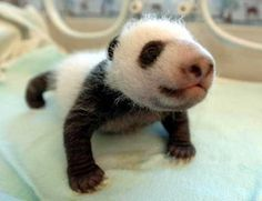 Top 10 cutest panda pics | Are you looking at me?