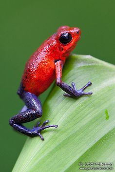 Strawberry poison-dart frog. LOVE THE PURPLE TIGHTS AND GLOVES...TMG