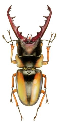 Prosopocoilus savagei ~ETS #savage #beetle #entomology