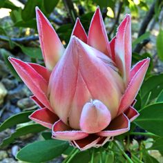 Flowers and Gardening. Helpful Organic Gardening Information, Advice, And Tips. Tending to an organic garden can be a highly rewarding and calming activity that anyone can participate in. Exotic Flowers, Tropical Flowers, Amazing Flowers, Strange Flowers, Protea Art, Protea Flower, Fruit Plants, Desert Plants, Flower Seeds