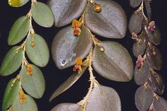 Forms of Lepanthes nummularia