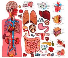 Anatomy Of The Human Body - Organs Human Body Anatomy, Human Anatomy And Physiology, Anatomy Organs, Human Body Organs, Body Detoxification, Muscular System, Body Systems, Child Life, Study Materials