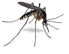 Johnson Pest Control - Your source for identifying pests and insects. If you need help controlling Mosquitos, call our team today! Zika Virus, Mosquito Control, Pest Control, Repelir Mosquitos, Garden Guide, Orange Oil, Insect Repellent, Garden Pests, Body Spray