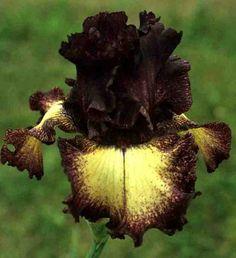 Comanche Acres Iris Gardens - Gower, MO - Epicenter Tall Bearded Iris