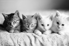 """It is impossible to keep a straight face in the presence of one or more kittens."" - Cynthia E. Varnado"