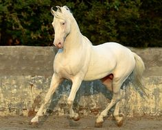 Cremello Marwari stallion, Karan. Near-white horses such as cremellos, are considered sacred by some and are called nukhri, or nukras in English. photo: Manu Sharma.