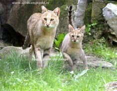 Jungle cat (Felis Chaus) - Adults weigh between pounds Small Wild Cats, Small Cat, Big Cats, Chausie Cat, Rusty Spotted Cat, Black Footed Cat, Wild Cat Species, Domestic Cat Breeds, Asian Cat