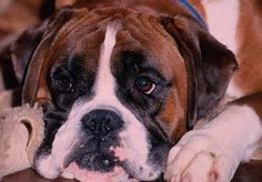 See more 10 Interesting Facts about Boxer Dogs
