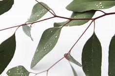 morning dew on eucalyptus  (mary jo hoffman)