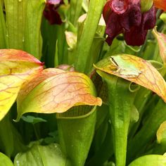 I imagine this little frog scaling a mountain of sarracenia to plant his frog flag on the tallest sarracenia. Features every Tuesday tag me or use #californiacarnivores to be eligible. #nature_perfection #nature #carnivoroustagram #carnivorousplants #bacps by california_carnivores