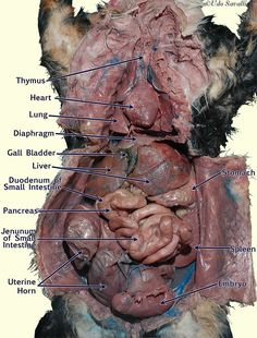 bio 202 organs and organ systems of the cat - visceral organs of the cat