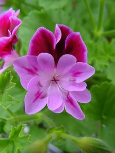 Pelargonium 'H.E. Collins'