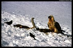 Gypaète barbu Pralognan la Vanoise French Alps