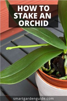 How to stake an orchid. Learn how to care for a new orchid spike to make sure the blooms are spectacular. I love phalaenopsis orchids, and I've got a few tricks to make sure your new flower spike is cared for correctly. Learn more at smartgardenguide.com