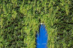 Αναρριχώμενα φυτά / κισσος