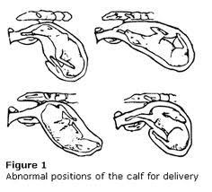 abnormal positions for the cow calving