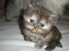 www.petclic.es la mayor tienda online de productos para #mascotas. La mayor biblioteca de contenido y consejos sobre mascotas. 1.000 consejos. 50.000 imágenes. Foto del #gato exotico pelo corto
