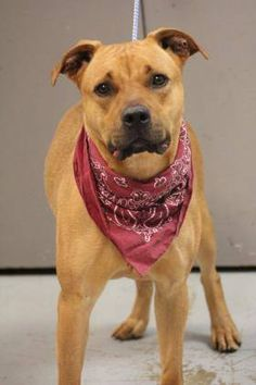 NAME: Patsy ANIMAL ID: 34936676 BREED: Retriever mix SEX: female(spayed) EST. AGE: 2 yr Est Weight: 59 lbs Health: Heartworm neg Temperament: dog friendly, people friendly ADDITIONAL INFO:RESCUE PULL FEE: No fee Intake date: 5/25 Available: Now
