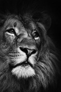 beautifull King - #lion #portrait #closeup #wildlife #animal #bw