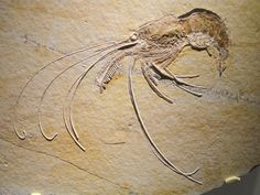 Aegertipularius, shrimp, Late Jurassic,Tithonian Age, Solnhofen Lithographic Limestone, Solnhofen,Bavaria, Germany-Houston Museum.
