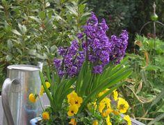 -neuer Gartentraum- Hyazinthen