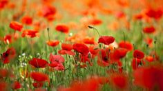 field flowers poppies wallpaper full free download high size resolution