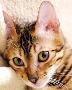 I'm a little bengal lady born July 5, 2015.  Come follow me on my adventures.  From Belarus, Minsk