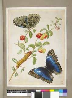 Two blue butterflies, from an album of 91 drawings entitled 'Merian's Drawings of Surinam Insects &c'; with a caterpillar on a plant bearing cherries (?) Watercolour, strengthened with gum, with bodycolour and pen and grey ink, on vellum