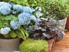 Arbustes en pot : hortensias en pot. #hortensia #jardin #arbustes #plantesenpot #detentejardin