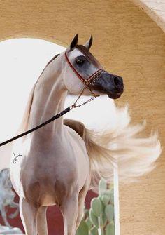Hariry Al Shaqab Palomino Appaloosa Arabic Horse Egyptian Arabian Horses Beautiful Arabian