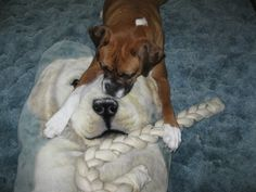 """""""Sharing my Xmas bone with my new friend."""" #Boxer"""