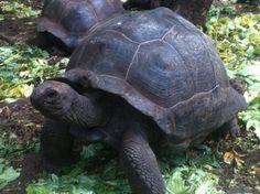 Tanzania - Turtle in Zanzibar (photo by Dino Caprara)