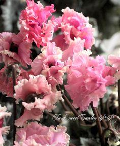 Cyclamen Peesicum コンテナミニシクラメン『森の妖精』pink