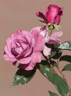 barbra streisand rose | Rose 'Barbra Streisand' by secondclaw