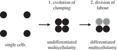 Cooperation, clumping and the evolution of multicelularity Figure 1.