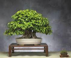 Tree seeds Korean hornbeam seeds mini bonsai tree seeds for home garden very beautiful sprout * Pub Date: Feb 15 2017 Pre Bonsai, Indoor Bonsai Tree, Mini Bonsai, Bonsai Plants, Bonsai Seeds, Tree Seeds, Planted Aquarium, Ficus, Silver Fir