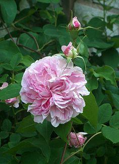 Blush Hip--------'Blush Hip'  1840