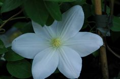 Clematis 'Madame Le Coultre'