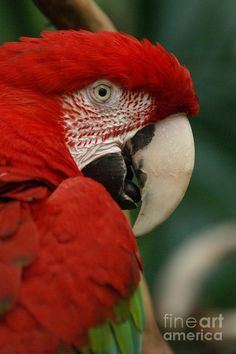 This gorgeous red macaw is hiding. $67 print on canvas.
