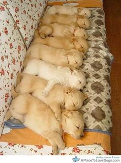 leilockheart:    pinterest  8 adorable Golden Retriever puppies sleep cuddling with each other in a row  Original Article