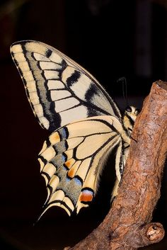 "Papilio machaon butterfly~with alot of attitude~LOL~It looks like he's looking at the camera saying ""WTF U looking at?"" hahaha~"