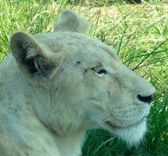 White Lioness