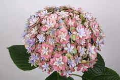 Very neat hydrangea Hydrangea Macrophylla, Beautiful Flowers, Floral Wreath, Wreaths, Picasso, Plants, Pink, Decor, Floral Crown