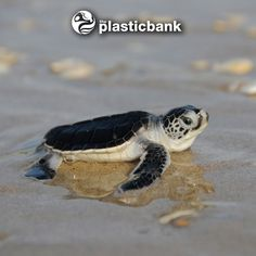 baby sea turtles flapping - Google Search