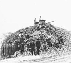 Stack of oyster shells, probably Lafourche parish, early 1900's. The shells were used for building material.