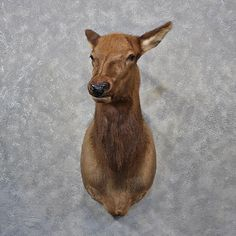 The Taxidermy Store has a wide selection of Elk Mounts & Antlers as wells as many other types of wildlife and decor products for Cow Elk, Elk Head, Taxidermy, Rocky Mountains, Antlers, Wolves, Moose, Giraffe, Goats