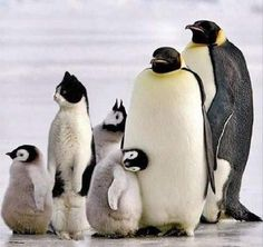 Adorable Family of Penguins – Cute Animals Cute Baby Animals, Animals And Pets, Funny Animals, Nature Animals, Funny Images, Funny Pictures, Funny Baby Photography, Photography Ideas, Wildlife Photography