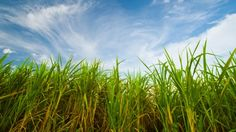 Scientists are working on a biofuel-producing strain of sugarcane  (Photo: Shutterstock)