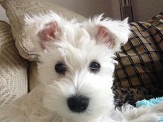I am Dorothy, a white miniature schnauzer puppy and my mum is helping me create a diary. A legacy for my future puppies :)